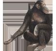 Chimpanzee ##STADE## - coat 69