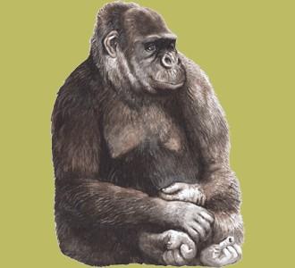 Take in a gorilla species jungle animal