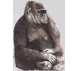 Gorilla ##STADE## - coat 69