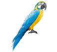 Blue-and-yellow Macaw ##STADE## - coat 5