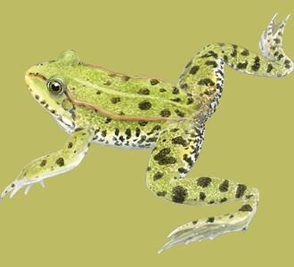 Green Frog ##STADE## - coat 72