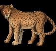 Jaguar ##STADE## - coat 46