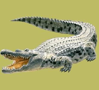 Take in a crocodile species jungle animal
